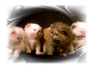Arhat питомник экзотических кошек